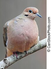 Mourning Dove (Zenaida macroura) on a branch in winter