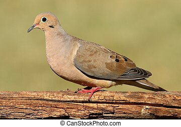 Mourning Dove (Zenaida macroura) on a log with a green ...