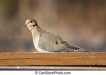 Mourning Dove (Zenaida macroura) sits on a bench in ...