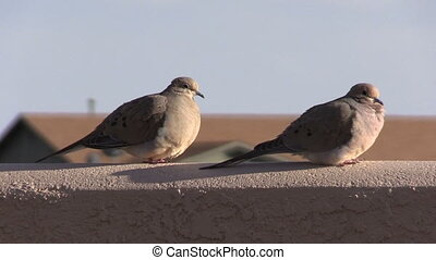 a pair of mourning doves on a fence