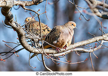 Mourning Doves - Mourning doves perched in a maple tree with...