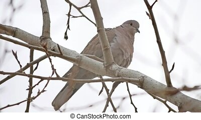 Mourningbird Dove turtledove bird Zenaida macroura on a tree...