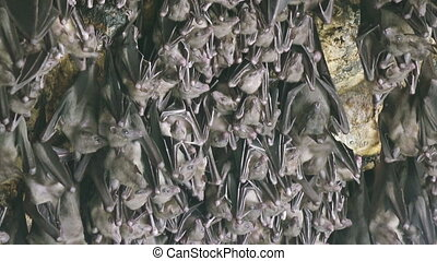Mouse Bats on the cave arch in Pura Goa Lawah (bat cave temple). The temple is built surrounding a limestone cave that housed thousands of bats. East Bali. Indonesia,