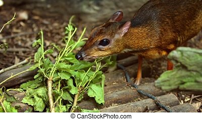 Mouse deer eats fresh leaves. Video FullHD 1080p