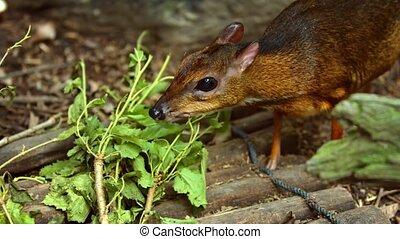 Mouse deer eats fresh leaves. Video UltraHD 4k