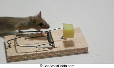 Mouse eating cheese in a mousetrap