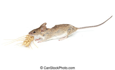 mouse eats wheat on white background