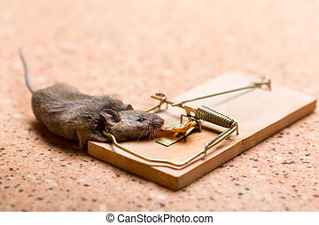 Mouse in the mouse trap - Mouse caught in the mouse trap on...