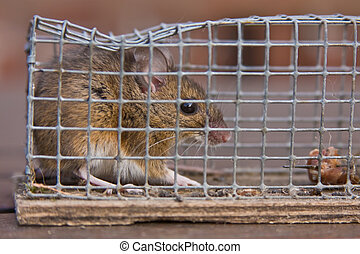 mouse in trap - mouse in a trap