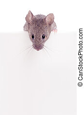 Mouse looking over edge isolated - mouse looking over the...