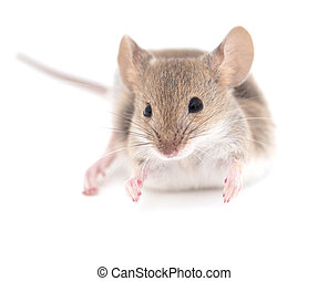 mouse on a white background. close-up