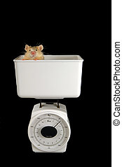 Mouse on scale - Golden mouse gets weighed