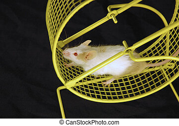 Mouse on wheel - Mouse on an exercise wheel