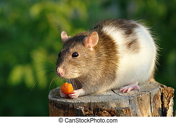 Mouse with carrot - Mouse nibbles carrot
