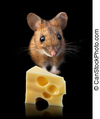 Mouse with cheese - Domestic mouse with piece of cheese...