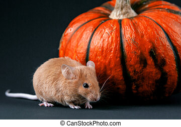 Mouse on a pumpkin. Mouse on a pumpkin on a white background.  |Pumpkin Mouse With Cheese
