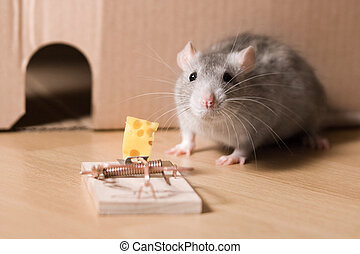 mousetrap and cheese - rat  and mousetrap with cheese