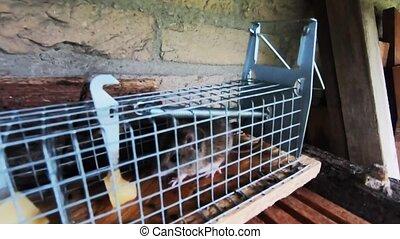 mousetrap., closeup, souris