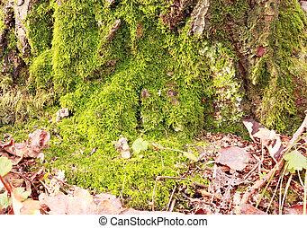 Images photographiques de arbre corce moussu 1 208 - Mousse sur les arbres ...