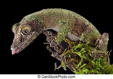 moussu, gecko, branche