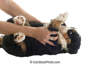 moutain, chiot, bernese, chien