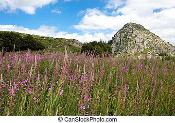 moutain flowers meadow