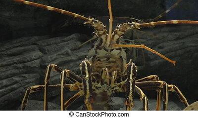 Mouth of lobster - Huge tropical sea water lobster in...