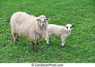mouton, agneau, pré