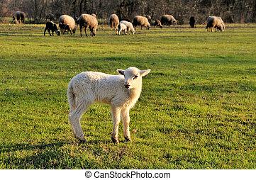 mouton, agneau, troupeau, premier plan