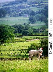 mouton, angleterre, district, sommet, lac, colline verte, petit