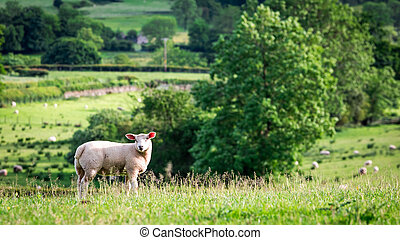 mouton, angleterre, sommet, vert, petit, colline
