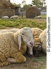 mouton, bétail, ferme, troupeau