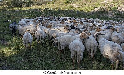 mouton, berger, chien