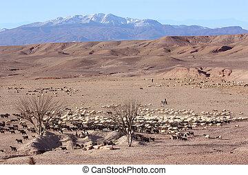 mouton, berger, désert