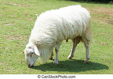 mouton, blanc, laineux