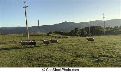 mouton, boiteux, s'égaré, troupeau, malade, pen., hâte