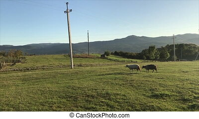 mouton, boiteux, s'égaré, troupeau, stylo, malade, hâte