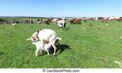 mouton, campagne, chèvres