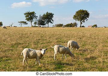 mouton, champ, blackdown, collines, royaume-uni