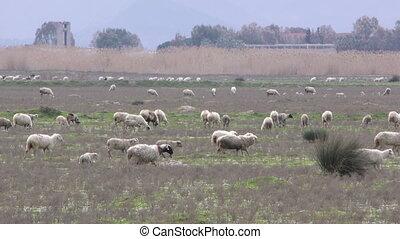 mouton, champ, nature