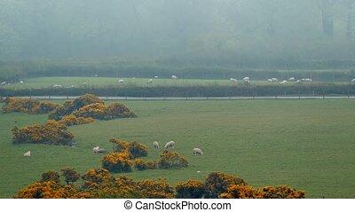 mouton, champs, passé, conduit, voiture