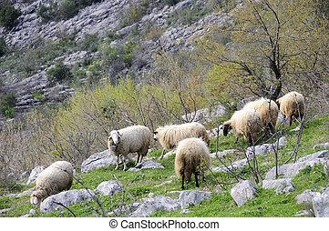 mouton, colline
