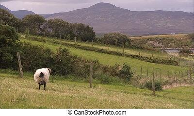 mouton, colline verte