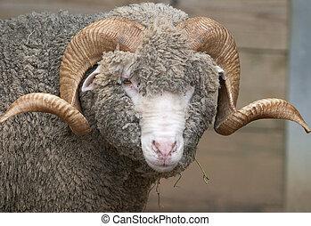 mouton, corné