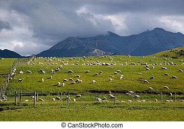mouton, cultures, vert