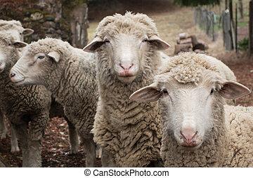 mouton, curieux