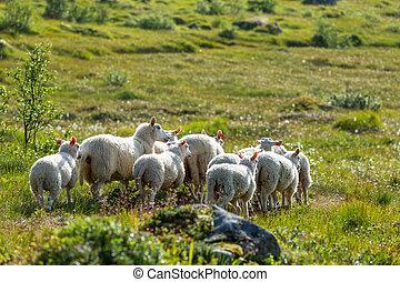 mouton, dans, norvège