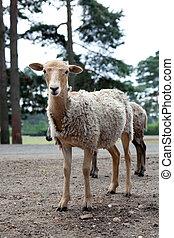 mouton, debout, troupeau, route