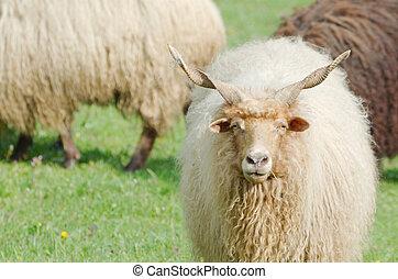 mouton, fixer, hongrois, racka