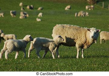 mouton, foule